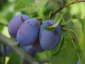 plums-693541_960_720